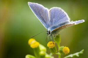 Foto Henkjan Kievit Icarusblauwtje